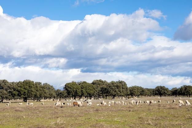 Owce pasące się na łące z niesamowitymi chmurami