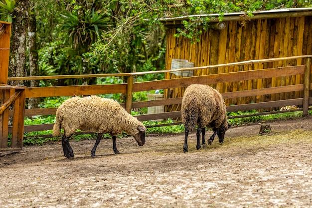 Owce pasące się na płocie w gospodarstwie.