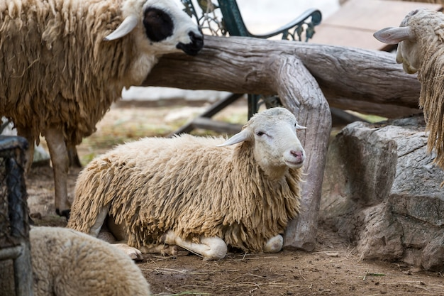 Owce ustanawiające na ziemi w stadzie.