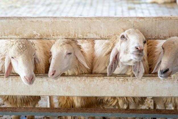 Owce w gospodarstwie. głowa białych owiec w boksie.