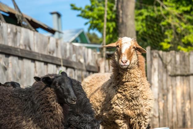 Owce w gospodarstwie na świeżym powietrzu. śmieszne owce na farmie.