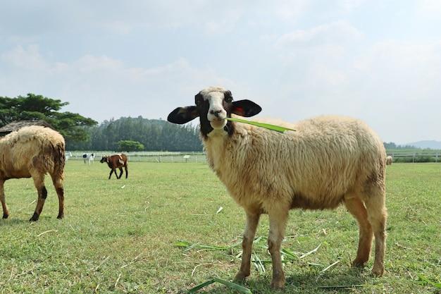 Owce w gospodarstwie