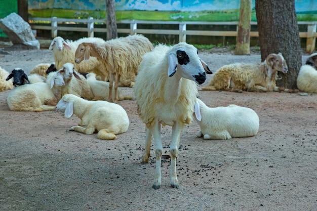 Owce w thai farmie