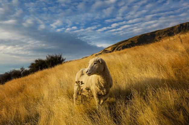 Owce w zielonej łące górskiej, wiejskiej sceny w nowej zelandii