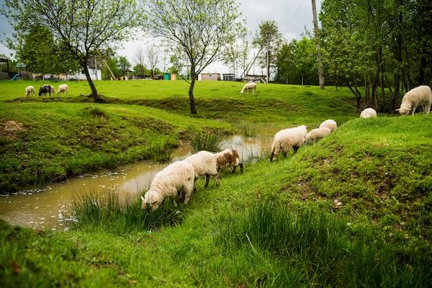 Owce w zielonym parku w pobliżu rzeki