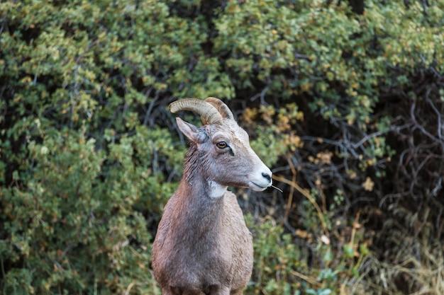 Owce wielkorogie, jesienią w parku narodowym banff, góry skaliste, kanada