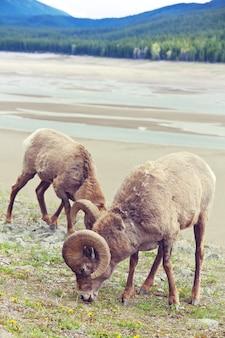 Owce wielkorogie w parku narodowym banff jesienią, góry skaliste, kanada