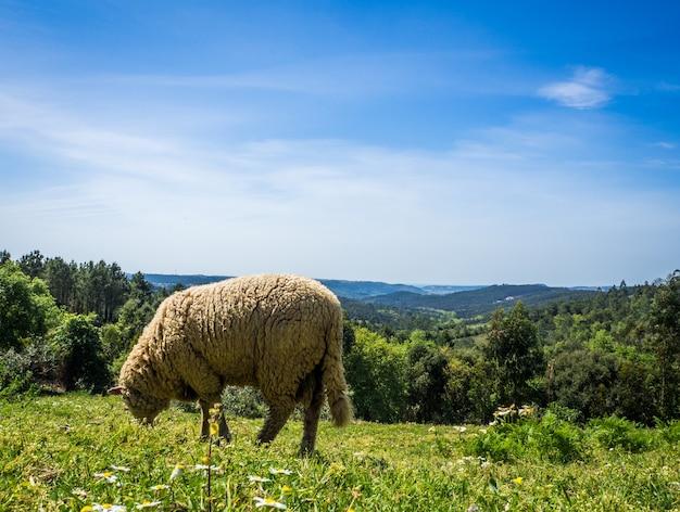 Owce wypasane na pastwisku w trawiastym polu w ciągu dnia