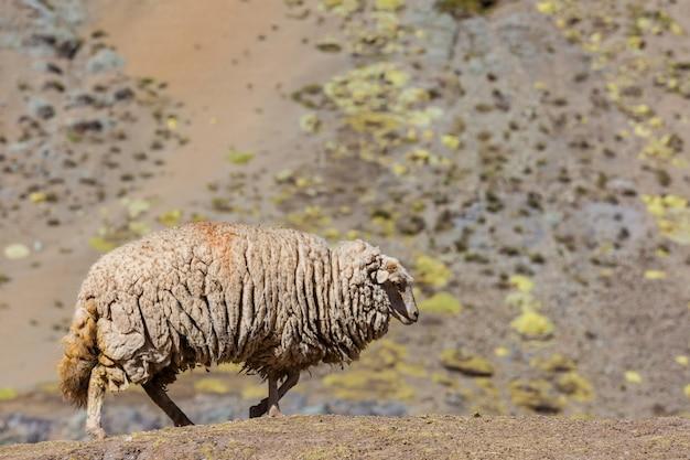 Owce Premium Zdjęcia