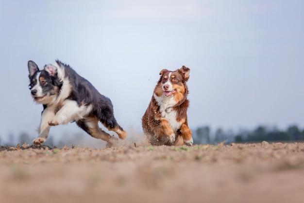 Owczarek australijski biegający na świeżym powietrzu