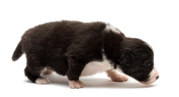Owczarek australijski puppy, spacery i śledzenie na białym tle