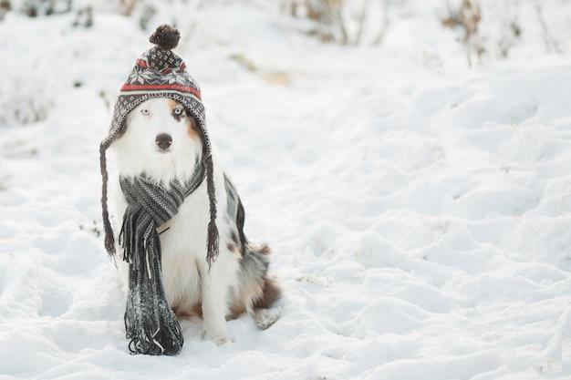Owczarek australijski siedzi w zimowym lesie. czapka i szalik zimowy.