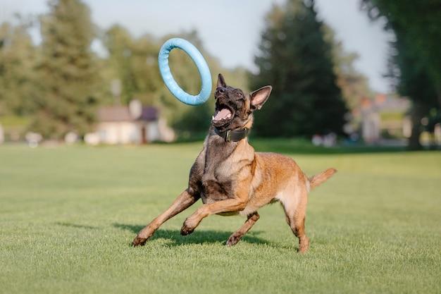 Owczarek belgijski malinois pies na zielonej trawie