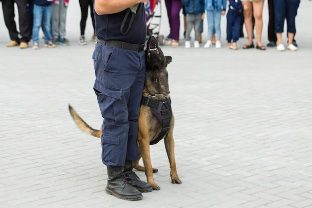 Owczarek belgijski malinois strzeże granicy oddziały graniczne demonstrują zdolności psów