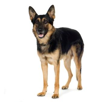 Owczarek niemiecki (4 lata) pies alzacki. portret psa na białym tle