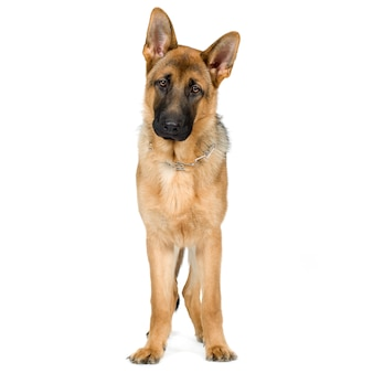 Owczarek niemiecki (7 miesięcy) pies alzacki. portret psa na białym tle