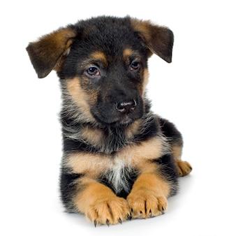 Owczarek niemiecki (7 tygodni) pies alzacki. portret psa na białym tle