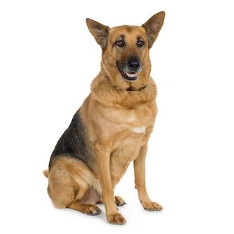 Owczarek niemiecki (9 lat) pies alzacki. portret psa na białym tle