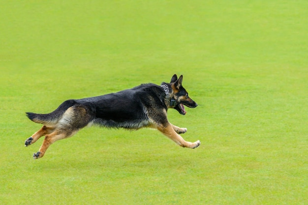 Owczarek niemiecki biegnie na zielonej trawie