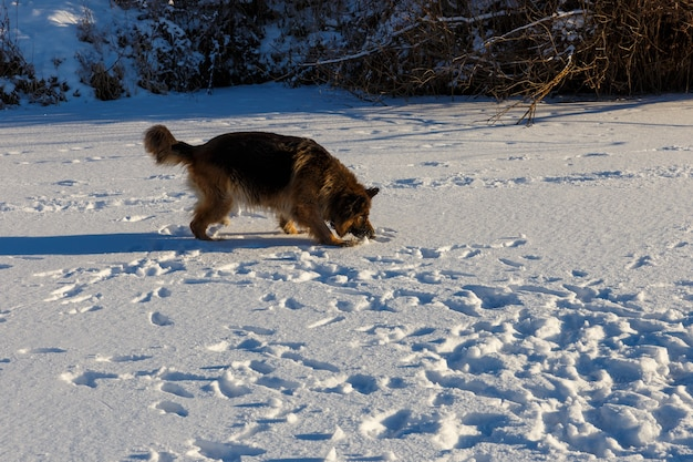 Owczarek niemiecki biegnie po śniegu i czegoś szuka.