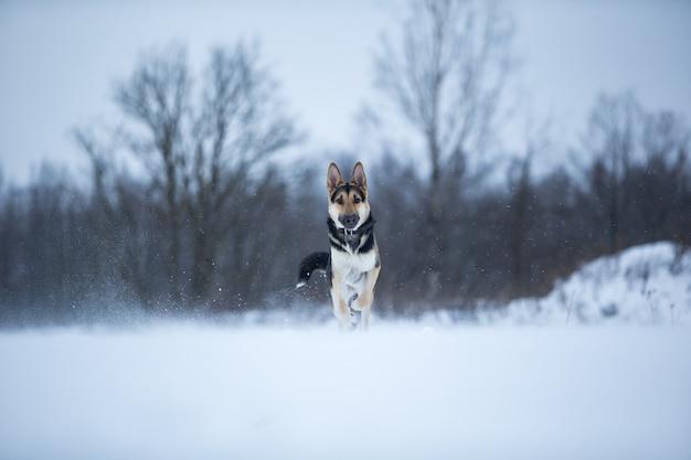 Owczarek niemiecki czystej krwi na spacerze zimą