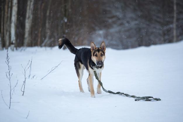 Owczarek niemiecki czystej krwi skacze i biega po śniegu
