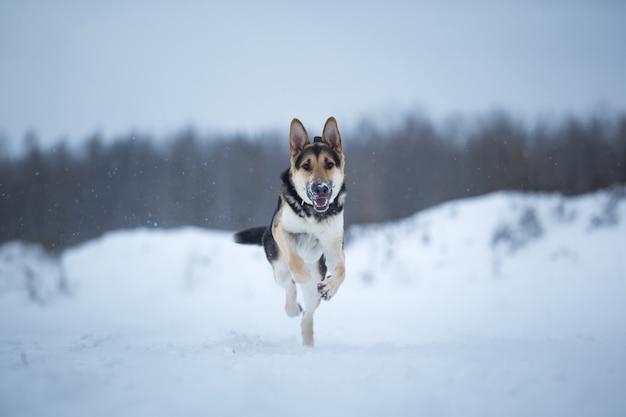 Owczarek niemiecki czystej krwi skacze i biegnie w kierunku kamery zimą na śniegu