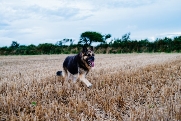 Owczarek niemiecki działa w trawiastym polu w ciągu dnia