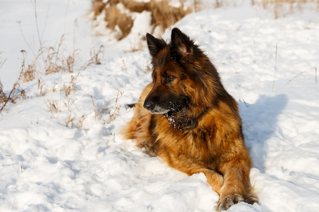 Owczarek niemiecki leży na białym śniegu, słoneczny dzień zimy