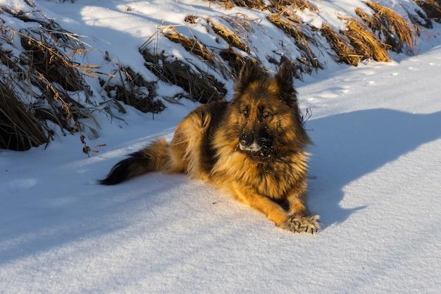 Owczarek niemiecki leży na białym śniegu.