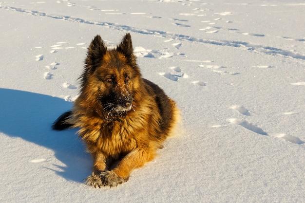 Owczarek niemiecki leży na śniegu i patrzy w bok. zimowy słoneczny dzień.