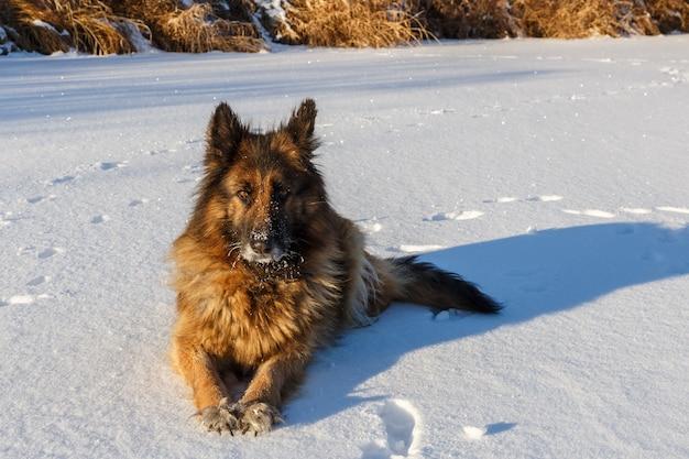 Owczarek niemiecki leży na śniegu i patrzy w kamerę. mroźny słoneczny zimowy dzień.