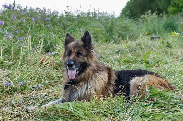 Owczarek niemiecki leży na trawie.