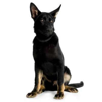 Owczarek niemiecki lub wilczur. portret psa na białym tle (5 miesięcy)