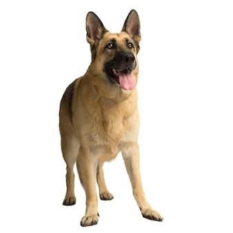 Owczarek niemiecki lub wilczur. portret psa na białym tle (6 lat)