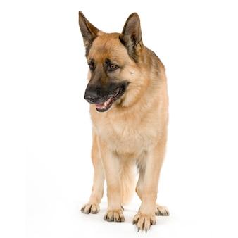 Owczarek niemiecki lub wilczur. portret psa na białym tle