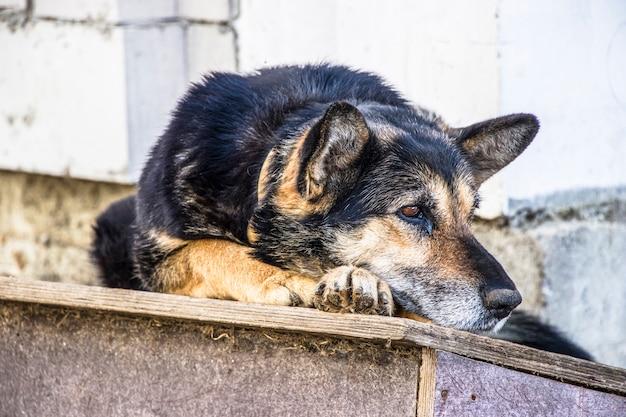 Owczarek niemiecki. na swojego właściciela czeka bardzo smutny pies. samotny pies stróżujący na łańcuchu. pojęcie samotności. hachiko.