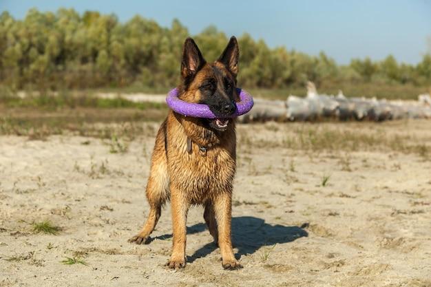 Owczarek niemiecki, najlepszy przyjaciel człowieka, ulubieniec, zwierzak, pies stróżujący, pies pasterski na spacer