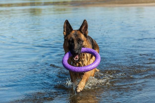 Owczarek niemiecki najlepszy przyjaciel ulubiony pies stróżujący pies owczarek na spacer