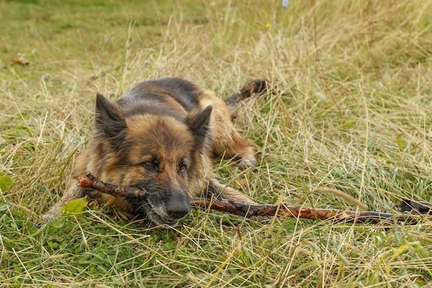 Owczarek niemiecki. pies leży na trawie i gryzie patyk.