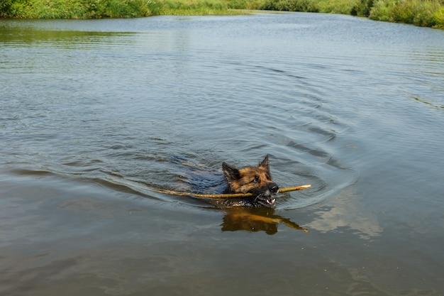 Owczarek niemiecki pływa po rzece z drewnianym kijem w zębach.