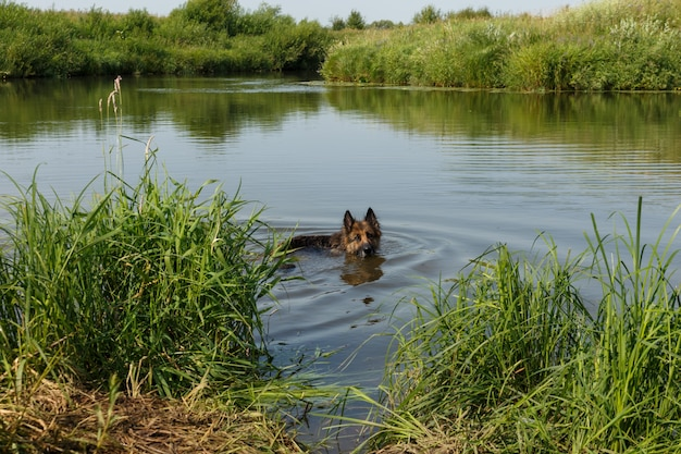 Owczarek niemiecki pływający w rzece. pies stoi w wodzie w letni dzień.