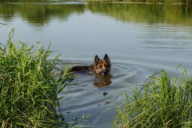 Owczarek niemiecki, pływanie w rzece. pies stoi w wodzie.
