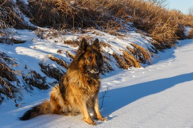 Owczarek niemiecki siedzi na białym śniegu. mroźny słoneczny zimowy dzień.