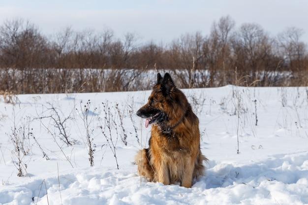 Owczarek niemiecki siedzi na śniegu i odwraca wzrok, zimowy dzień