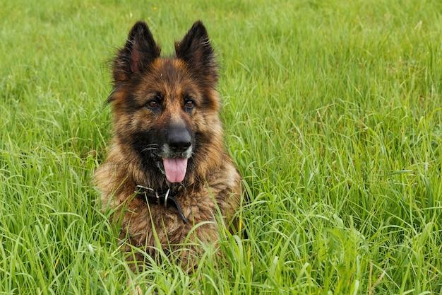 Owczarek niemiecki siedzi w zielonej trawie. pies wystawił język.