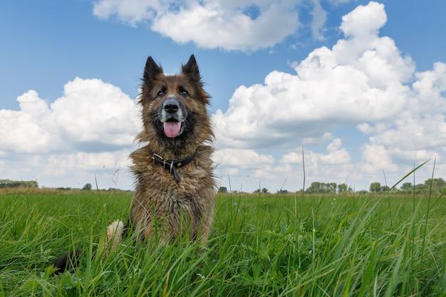 Owczarek niemiecki siedzi w zielonej trawie przeciw błękitne niebo z chmurami