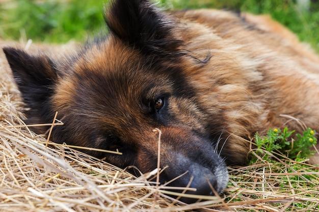 Owczarek niemiecki. smutny, chory pies leży na sianie i patrzy w kamerę.