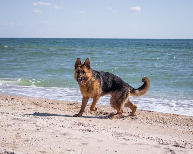Owczarek niemiecki szczeniak zabawy na plaży. piękny pies. widok morza. zwierzęta domowe zwierzę domowe. czas letni