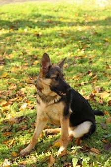 Owczarek niemiecki w parku jesienią. pies w lesie